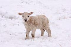 Agnello della sorgente nella neve Immagine Stock Libera da Diritti