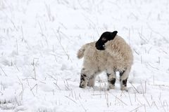 Agnello della sorgente nella neve Immagini Stock