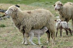 Agnello delle pecore Fotografie Stock Libere da Diritti