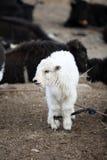 Agnello delle pecore tibetane Fotografia Stock Libera da Diritti