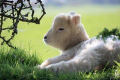 Agnello di Exmoor Fotografia Stock Libera da Diritti