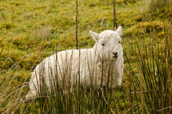 Agnello di Lingua gallese Fotografia Stock