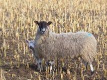 Agnello e pecora timidi della sorgente Immagine Stock Libera da Diritti