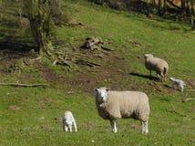 Agnello e pecore Fotografie Stock