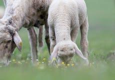 Agnello e pecore che pascono sul prato Immagini Stock Libere da Diritti