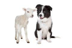 Agnello e un cucciolo del collie di bordo Immagine Stock Libera da Diritti