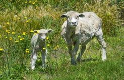 Agnello La Pampa delle pecore Fotografia Stock Libera da Diritti