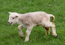 Agnello neonato della primavera, West Yorkshire fotografia stock