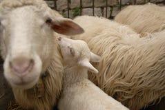Agnello/pecore Fotografie Stock