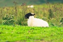 Agnello scozzese del Blackface Fotografia Stock Libera da Diritti