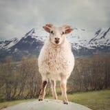 Agnello sveglio dall'Islanda Immagini Stock Libere da Diritti