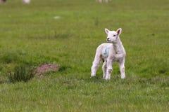 Agnello sveglio nel campo verde Fotografia Stock Libera da Diritti
