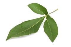 agnus-castus Cinq-leaved, troène chaste et indien chinois, écrou de coffre de Negundo (trifolia Linn de Vitex ), feuilles Photographie stock libre de droits