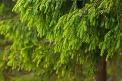 Ago del pino nel giorno nuvoloso immagine stock libera da diritti