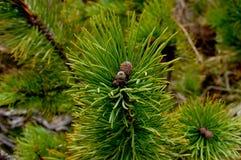 Ago dell'albero di abete Immagini Stock Libere da Diritti