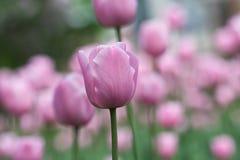 Agolpamiento rosado Imagen de archivo