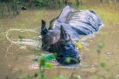 27 agosto 2014 - rinoceronte indiano che bagna nel parco nazionale di Chitwan, Immagini Stock