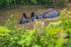 27 agosto 2014 - rinoceronte indiano nel parco nazionale di Chitwan, Nepal Fotografie Stock Libere da Diritti