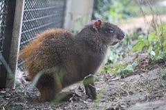 Agouti στο ζωολογικό κήπο Στοκ Φωτογραφία