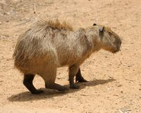 Agouti Stock Images
