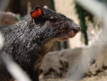 AGOUTI Photos stock