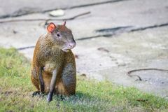 Agouti agoutis or Sereque rodent sitting on the grass. Rodents of the Caribbean. royalty free stock images
