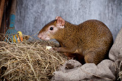 Agouti d'Amérique centrale Photo stock