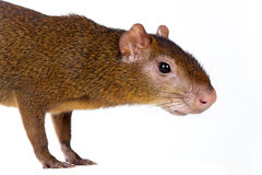 Agouti d'Amérique centrale sur le blanc Photo stock