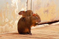 Agouti (Dasyprocta) Stock Photography