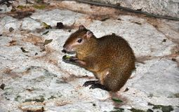Agouti. Stock Photos
