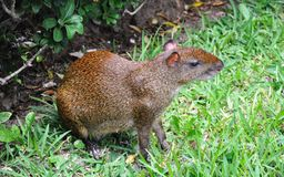 Agouti in a grass. Royalty Free Stock Photos