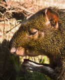 Agouti Royalty Free Stock Photos