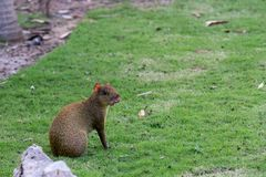 Agouti rodent outdoors. View of a Sereque or agouti rodent in Mexico Stock Images