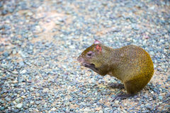 Agouti rodent sitting and holding food in Honduras Stock Image
