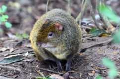 Agouti sit on forest ground Stock Images