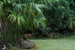 Agouti sitting under palm tree in a city park Stock Image