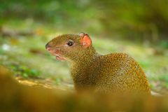 Agouti in the tropic forest. Animal in nature habitat, green jungle. Big wild mouse in green vegetation. Cute agouti, green grass. Agouti in the tropic forest Royalty Free Stock Image