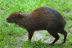 Agouti van Centraal-Amerika (Dasyprocta-punctata) stock fotografie