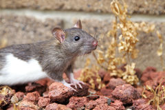 Agouti and white rat royalty free stock image