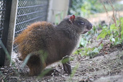 Agouti in the Zoo. An Agouti sitting sleepy in the zoo Stock Photography