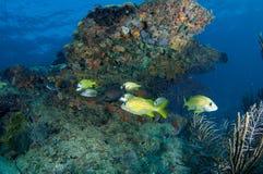 Agrégation de poissons au-dessus de saillie de corail proche Images stock