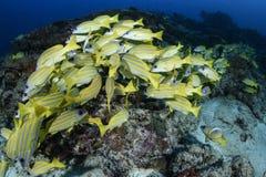 Agrégation des poissons jaunes dans les eaux bleues des Maldives photographie stock