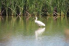 `agró blanco` on the lake of Ivars and Vilasana royalty free stock photography
