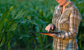 Agrónomo con la tableta en campo de maíz fotografía de archivo libre de regalías