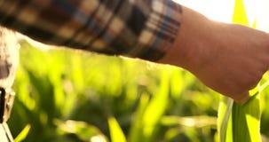 Agrónomo con la tableta en campo vacío desnudo en puesta del sol, hombre confiado serio del granjero usando tecnología moderna ad almacen de video