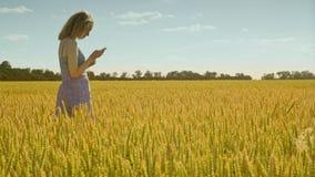 Agrónomo de sexo femenino que mira los oídos del trigo Cosecha de examen del trigo del científico almacen de video