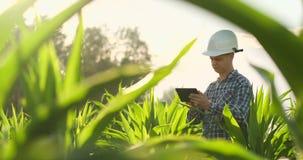 Agrónomo de sexo masculino joven o ingeniero agrícola observando el campo verde del arroz con la tableta digital y la pluma para  metrajes