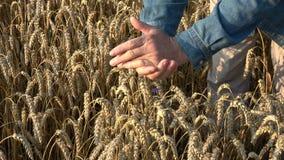 Agrónomo del granjero que mira la condición del grano de los oídos del trigo metrajes