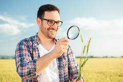 Agrónomo o granjero joven feliz que examina troncos de la planta del trigo con una lupa imagen de archivo libre de regalías