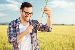 Agrónomo o granjero joven sonriente que examina la raíz de la planta del trigo con una lupa fotografía de archivo